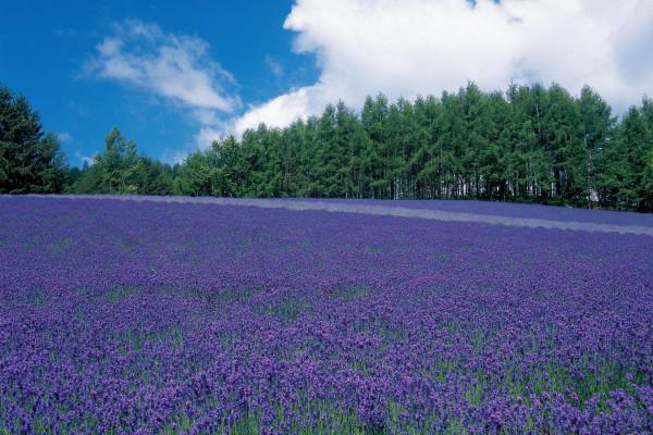 ファーム富田|夏の旅は北海道で決まり!自然が織りなす絶景スポット富良野・美瑛で心もカラダも癒され旅