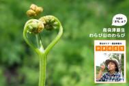 """子猫の手のように愛らしさ。芽吹きたての山菜を贅沢に味わう【登山ガイド・渡辺佐智の""""やまのさち""""】"""