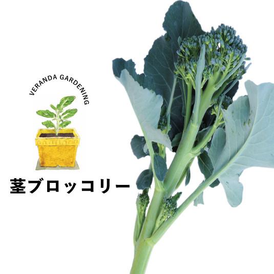 【ベランダ菜園】丸くないブロッコリー!? 柔らかくて。おいしい! 茎ブロッコリーを育ててみよう