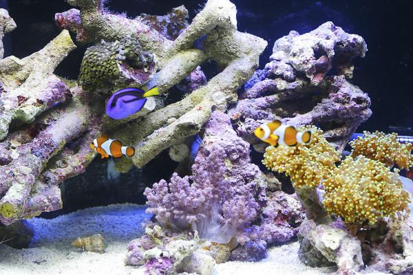 リビングにサンゴ礁。ニモとドリーを飼う方法