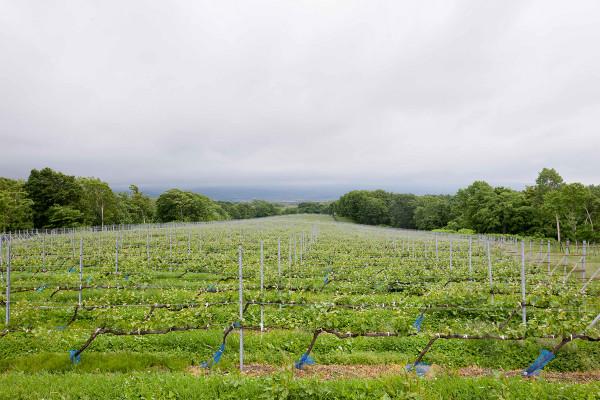 日本ワイン畑